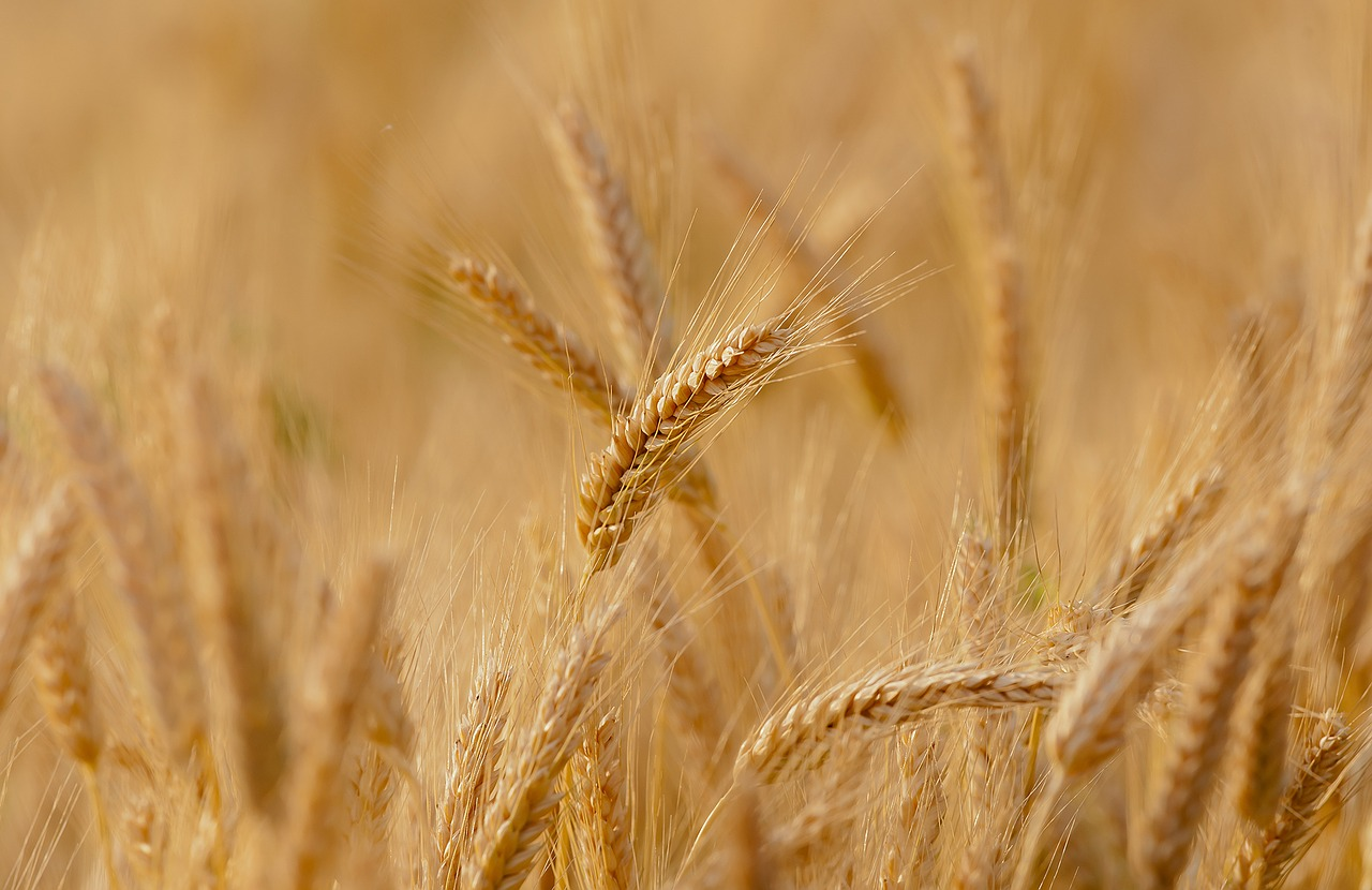 wheat-3241114_1280